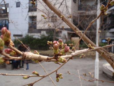 sakura(3).JPG